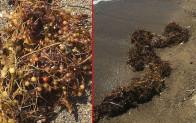 Deniz salyası bitmeden yeni kabus! Ege kıyılarını çürümüş yumurta gibi kokan yosunlar sardı