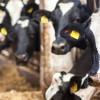 Katar ABD'den sığır ithal etti
